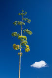 Agave americana, pianta di secolo Immagine Stock Libera da Diritti
