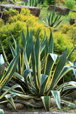Agave americana Royalty Free Stock Photography