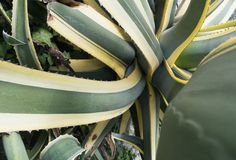 Agave americana plant Stock Images