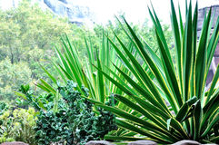 Agave americana Royalty Free Stock Image