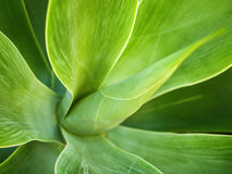 Agave attenuata Stockfotos