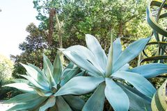 Agave Attenuata, Botanische Tuin van Cagliari, Sardinige, Italië stock afbeeldingen