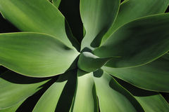 Agave Attenuata Plant Royalty Free Stock Photos