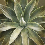 Agave attenuata plant, closeup Royalty Free Stock Image
