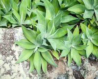 Agave attenuata Plants Spilling Over a Mottled Rock Wall. Lush green and grey Agave attenuata plants with faint stripes spilling over a mottled rock wall with royalty free stock photo