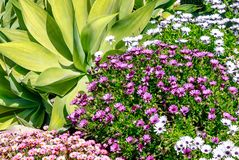 Agave attenuata and River daisy Flower in a tropical garden, southern Spain. Agave attenuata and River daisy Flower Osteospermum ecklonis in a tropical garden royalty free stock images