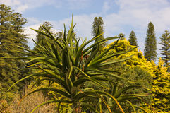 Agave in Australia Stock Images