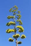 agave blommar grön s-yellow Royaltyfria Foton