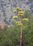 Agave Bloom. In Big Bend National Park Stock Photo