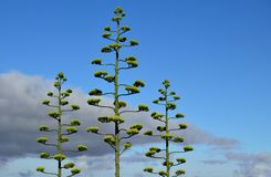 Agave in bloom. Stems of agave in bloom with blue sky and clouds Royalty Free Stock Photos