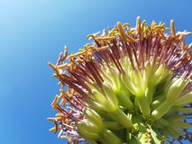 Agave blossom flower. Queen`s Victoria Agave`s blossom flower Royalty Free Stock Photo