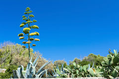 Agave blossom. On sky background in Malta Stock Image