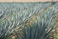 Agave blowing in the wind Royalty Free Stock Photos