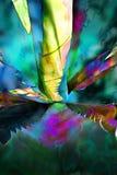Agave blu Fotografie Stock
