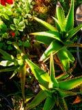 Agave cactus Stock Photos