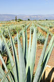 Agave cactus field in Mexico Stock Photography