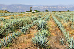 Agave cactus field in Mexico Royalty Free Stock Photos