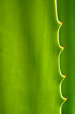 Agave cactus leaves Stock Photography