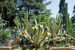 Agave and cactus in the park Royalty Free Stock Images