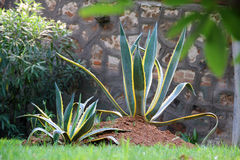 Agave cactus Royalty Free Stock Images