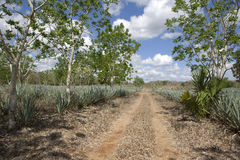 Agave cactus plantation. Stock Images