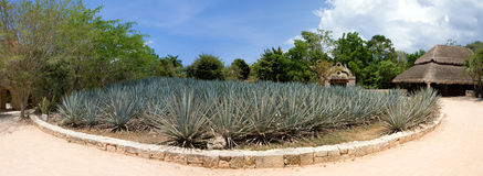 Agave cactus plantation panoramic view. Royalty Free Stock Photography