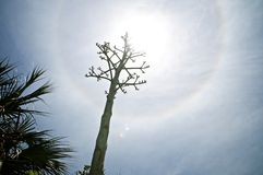 Agave century plant flower stalk with halo from sun. Dramatic low angle view of agave flower stalk in front of sun with halo, lens flare and palm trees. Also royalty free stock images