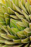 Agave close-up Stock Photography