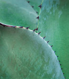 Agave Close Up (Agavoideae) Royalty Free Stock Image