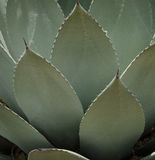 Agave closeup Royalty Free Stock Images
