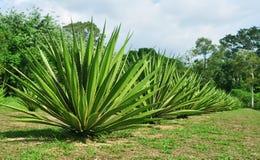 agave stock fotografie