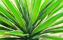 agave royalty-vrije stock fotografie