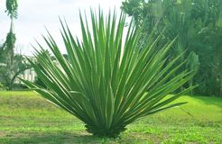 agave stock foto