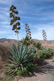 Agave de floraison sur Fuerteventura Photo stock
