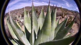 AGAVE de la Californie de désert de Borrego et paysage de désert banque de vidéos