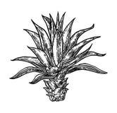 Agave del blu del cactus Illustrazione d'annata dell'incisione per l'etichetta, manifesto, web Fotografia Stock Libera da Diritti