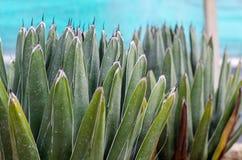 Agave della regina Victoria di victoriae-reginae dell'agave con le tracce da fotografia stock