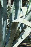 Agave. Detail of Aloe vera plant royalty free stock images