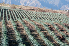 Agave field in Tequila, Mexico Royalty Free Stock Photo