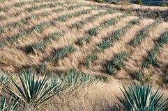 Agave field in Tequila, Mexico Royalty Free Stock Image