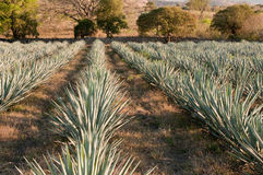 Agave field in Tequila, Mexico Royalty Free Stock Images