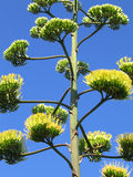 Agave flower. S  on the background of sky Royalty Free Stock Photo