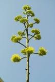 Agave flower. On the blue sky stock photo