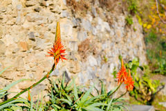 Agave flower in bloom - close up Royalty Free Stock Image