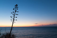 Agave flower at dawn. Against Mediterranean Sea. Costa Brava, Spain Royalty Free Stock Photos