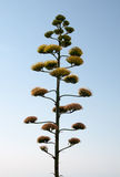Agave flower. Agave plant flowering against blue sky in La Zenia, Torrevieja, Costa Blanca, Spain Stock Photography