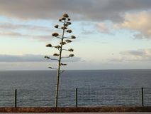 Agave flower spike on the coast of Madeira. Single agave flower spike on the coast of Madeira island against a cloudy sky stock image