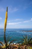 Agave flower spike on the Pacific Ocean Royalty Free Stock Photo
