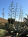Agave flower spikes in the Cabo de Gata Natural Park, Spain Stock Image