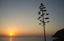 Agave. Flowering agave against the background of a Mediterranean sunrise Royalty Free Stock Photography